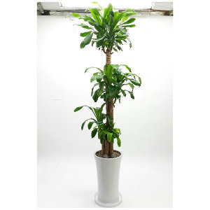 행운목AA 사기화분 실내공기정화식물 개업식화분