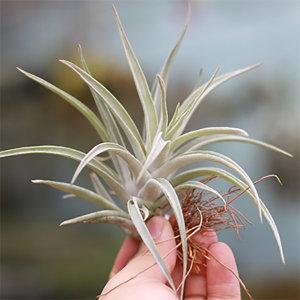틸란드시아 하리쉬 먼지먹는 공기정화식물