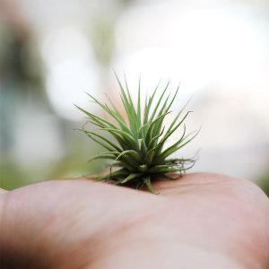 틸란드시아 이오난사_미니 먼지먹는 공기정화식물