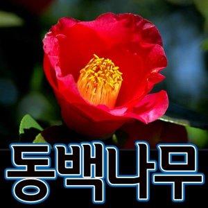 순희농장/동백나무묘목/동백모종/애기동백나무/동백묘