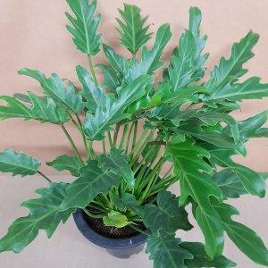 착한가격 셀렘(중품)/공기정화식물/ 가습효과식물