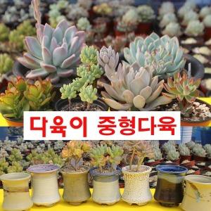 다육식물 다육이 공기정화식물 선인장 다육화분 부용
