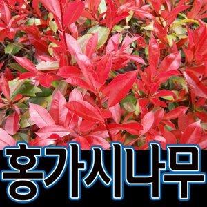 홍가시묘목/홍가시나무/40cm 묘목/레드로빈/홍가시/조