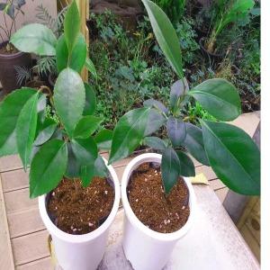 동백나무묘목화분 2개(키30-40cm화분포함)재래종 홑꽃