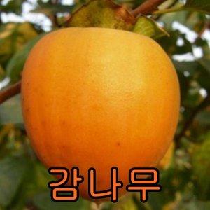 나무야 감나무3년결실주/철쭉/유실수/묘목/감나무/감
