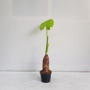 (온누리꽃농원) 알로카시아/플랜테리어/공기정화식물