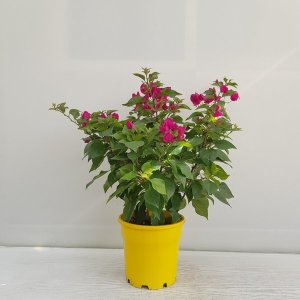 (온누리꽃농원) 부겐베리아/플랜테리어/공기정화식물