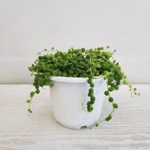 (온누리꽃농원) 콩난/콩란/공기정화식물/플랜테리어