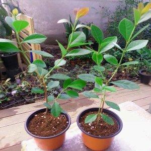 구아바나무묘목(2개/칼라포트)구아바 열대과일나무