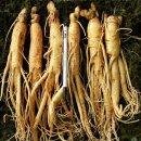 충남금산 인삼 수삼 직삼400g 5~7뿌리 특대 산지직송