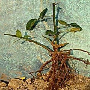 복분자 나무 묘목 슈퍼복분자 블랙베리묘목 2년생
