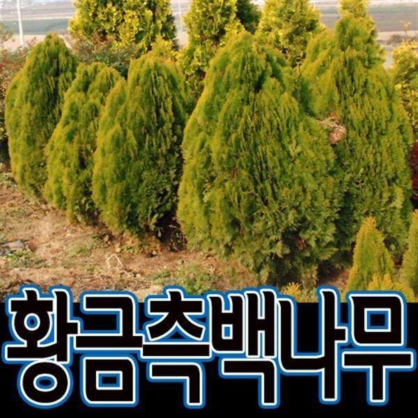 순희농장/황금측백나무/묘목/측백나무/에메랄드그린/3