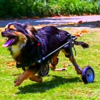반품제품 강아지 애완견 휠체어 애견 보조기구 2륜