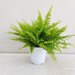 (온누리꽃농원) 보스턴 고사리/인테리어/공기정화식물