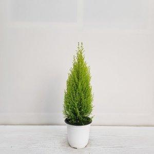 (온누리꽃농원) 율마/플랜테리어/공기정화식물