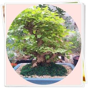 분재/피라칸사스/애기사과/단풍나무/소사나무