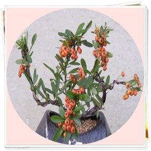 소형분재/13종류/눈향나무/호주매화/피라칸사스