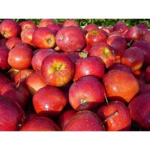 햇 청송 꿀사과 5kg 10kg 가정용/선물용