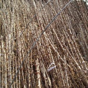 엄나무 엄나무묘목 음나무 음나무묘목 개두릅 나무