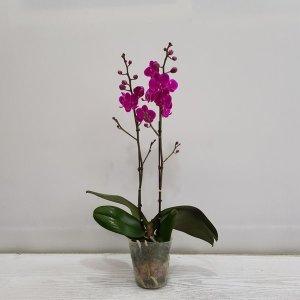 (온누리꽃농원)만천홍(쌍대)/공기정화식물/플랜테리어