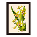 도레미그림 올댓프레임-식물(Odontoglossum Kegeljani)