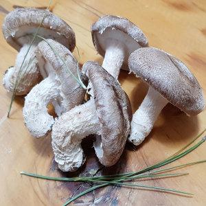 착한송이 송향버섯 경북특산물 알뜰형 1kg 매일채취