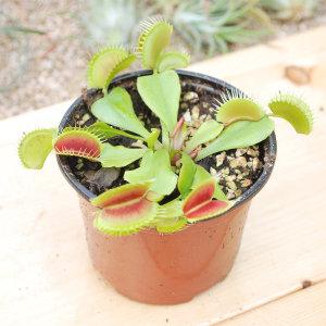 식충식물 파리지옥+카펜시스+에셀리아나 국민셋트