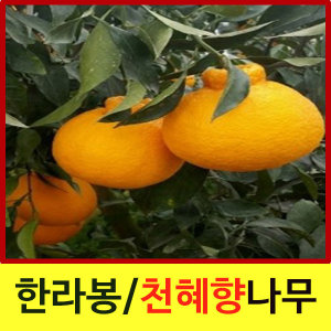 순희농장/한라봉/천혜향나무/레드향/유자나무/유실수/
