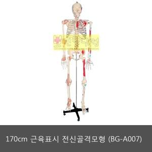 170cm 근육표시 전신골격모형 (BG-A007)