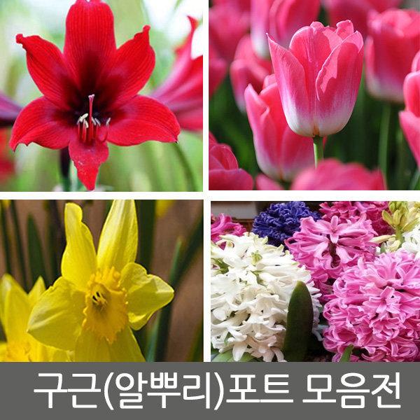 수선화/수선화구근/백합구근/백합모종/꽃무릇/꽃무릇
