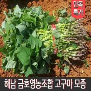 땅끝해남 금호영농조합 호박/밤/꿀 고구마모종 5kg