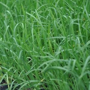 두메부추모종 10주(10포트)/산부추모종
