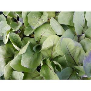 가지모종 10주(10포기)/ks종묘 흑일품가지 품종