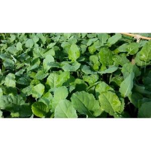 브로콜리모종 50주(50개)/다농 소렌토브로콜리품종