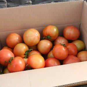 맛있는 유기농 토마토 완숙 찰토마토 당일수확 산지직