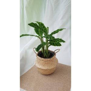칼라데아 제브리나 비로도 해초바구니 세트 반려식물