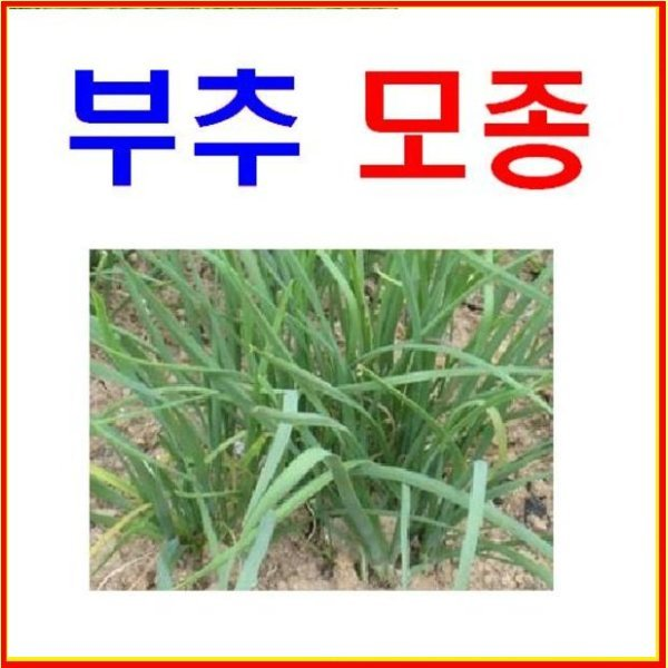 Y(소망)부추모종 35개 묶음배송/텃밭용모종/