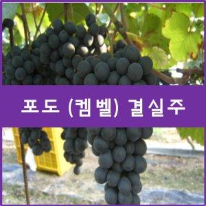 포도나무 포도나무(켐벨) 삽목3년결실주