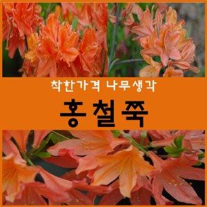 철쭉나무 홍철쭉 30cm1주