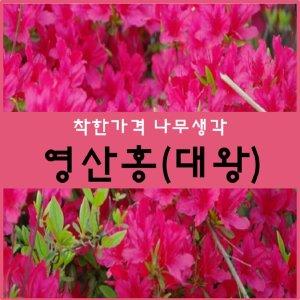영산홍 나무 영산홍(대왕) 30센치 2주 묶음