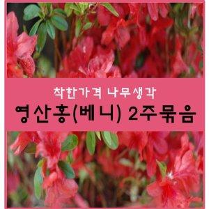영산홍나무 영산홍(베니) 30센치 2주묶음