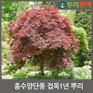 홍수양단풍묘목/공작나무/정원수/공원수/관상수