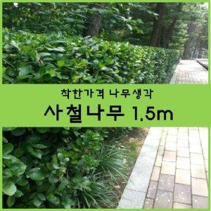사철나무 사철나무 1.5m크기