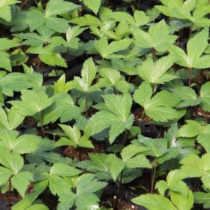 일당귀모종 10주(10개)/당귀모종/잎당귀/쌈당귀