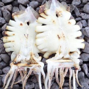 (냉동)동해안 영덕 반건조 오징어 중 10미