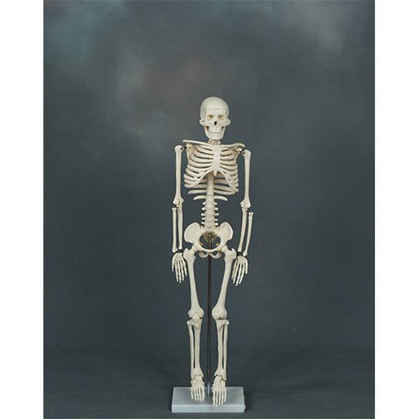 미니 전신골격모형(85cm)  해부모형