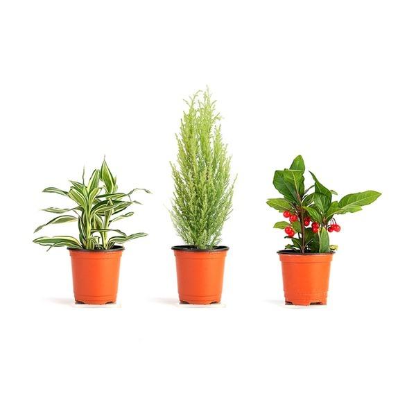실내공기정화식물 관엽식물 미세먼지제거 율마 스투키