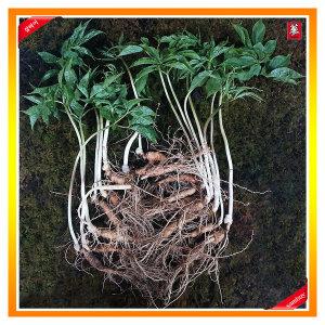 삼바이 토종 산양삼 5년근 15뿌리 선물세트