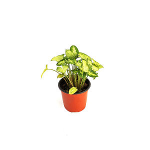 싱고니움 관엽 공기정화식물 미세먼지 그린테라피