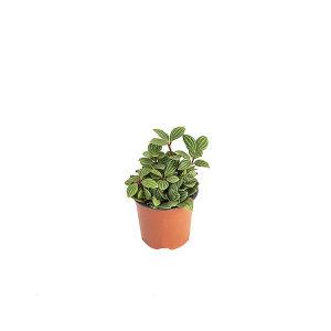 줄리페페 관엽 공기정화식물 미세먼지 그린테라피